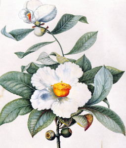 The Bartram family saved the Franklinia from extinction.